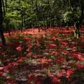 Photos: 木漏れ日が赤い絨毯まだらにし