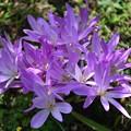写真: 咲きに咲きました