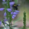 写真: 蜜もとめ花から花へ今日も飛ぶ