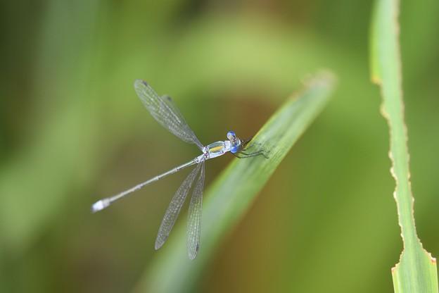目が青い小さなアオイトトンボ