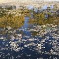 カナールの銀杏並木水鏡