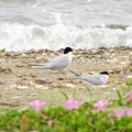 写真: 浜辺のコアジサシ