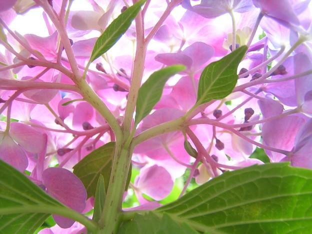 秘めたる思い~紫陽花~