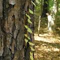 写真: '14紅葉狩 蔦と落葉