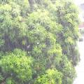 Photos: マンゴ雨