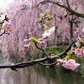 写真: 春雨に濡れる花びら