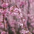 写真: 春雨の垂れ