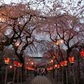 写真: 夜桜咲く総門へ続く参道