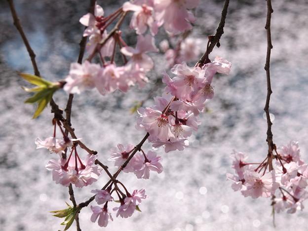 キラキラ輝く散った桜と枝垂れ桜