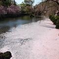 写真: 神池に散った桜の花びら