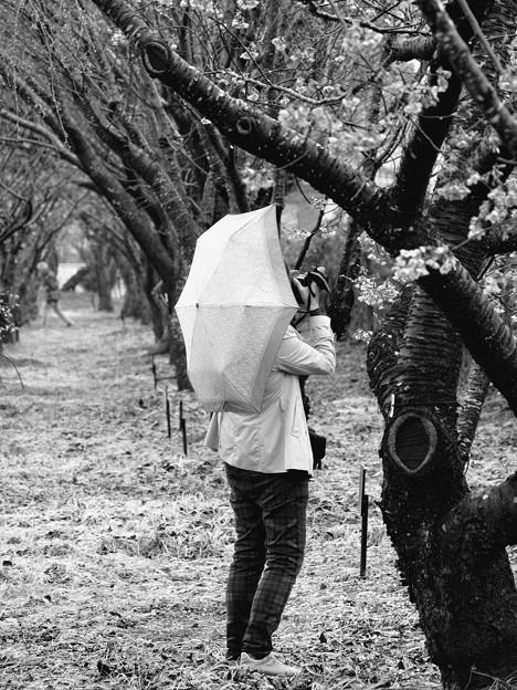 春雨の中、サクラ撮る