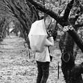 写真: 春雨の中、サクラ撮る