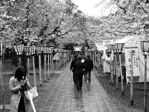 雨上がりの桜並木な参道