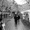 写真: 雨上がりの桜並木な参道