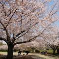 写真: 桜の下で寛ぐ休日 *e