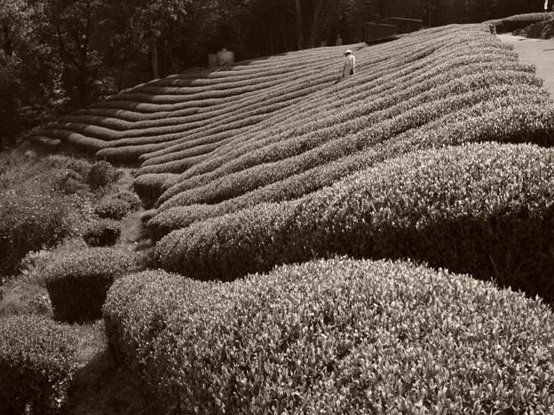 茶摘み間近かな茶畑 *a
