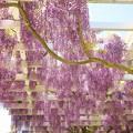 ガーデンの垂れる藤 *b
