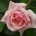 雨上がりの薔薇 *c