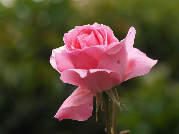 雨上がりの薔薇 *d