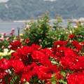 写真: 公園の赤い薔薇