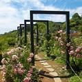 初夏の青空の下、バラは咲く