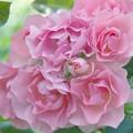 写真: ピンクがいっぱい♪
