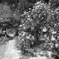 Photos: 薔薇に囲まれし、ふたり
