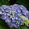 紫陽花の咲く水辺 *b