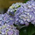 紫陽花の咲く水辺 *d