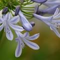 写真: アガパンサス咲く季節 *d