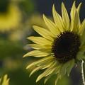 写真: 朝陽を浴びる夏娘 *b