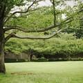 真夏の桜並木