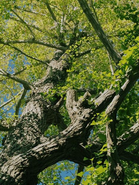 そびえる銀杏の樹木 *a