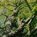 写真: そびえる銀杏の樹木 *a