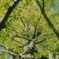 写真: そびえる銀杏の樹木 *b