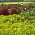 写真: コキアと花畑 *a