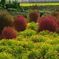 写真: コキアと花畑 *b