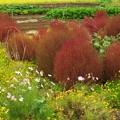 コキア色付く花畑 *iii