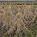 写真: 稲刈りの跡…*a