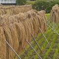 写真: 稲刈りの跡…*c