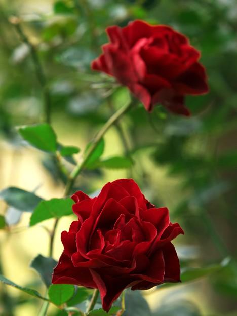 二輪の赤き薔薇