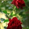 写真: 二輪の赤き薔薇
