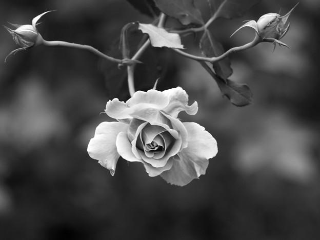 写真: 秋薔薇~モノクロ