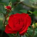 写真: 秋薔薇~情熱色