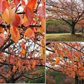 雨に濡れた桜並木の歩道