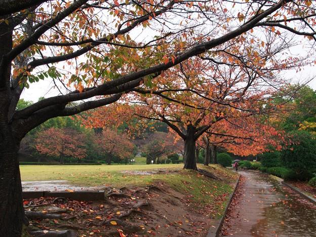 写真: 晩秋の雨に濡れた桜並木 *a