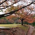 晩秋の雨に濡れた桜並木 *a