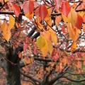 晩秋の雨に濡れた桜並木 *c