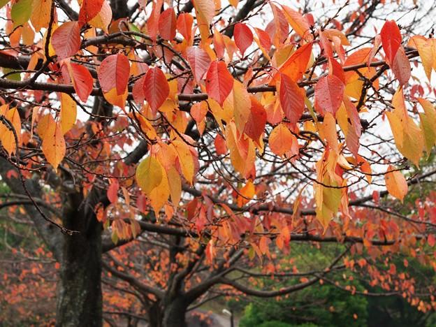Photos: 晩秋の雨に濡れた桜並木 *d