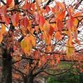 晩秋の雨に濡れた桜並木 *d